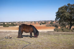 Pony grazing in field Royalty Free Stock Photography