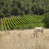 Pony grazing in a field France Royalty Free Stock Photos
