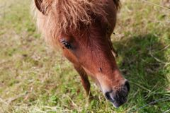 Pony grazing at high grass Royalty Free Stock Images