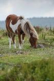 Pony Grazing salvaje en Grayson Highlands Fotografía de archivo libre de regalías