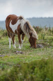Pony Grazing sauvage en Grayson Highlands Photographie stock libre de droits