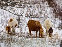 Pony Grazing selvagem, rebanho, inverno, Grayson Highlands State Park fotos de stock