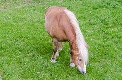 Pony grazing. Pony or small horse on a green meadow Stock Images