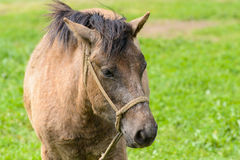 Pony in a green field Stock Photography