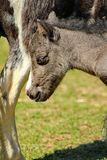 Pony grey Stock Image