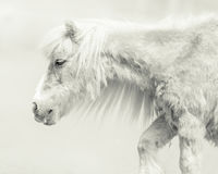 Pony With Handsome Long Mane Imagem de Stock Royalty Free
