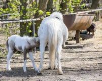 Pony Hatchling saugt das Euter der Mutter Lizenzfreies Stockbild