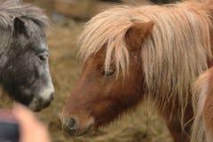 Pony head Royalty Free Stock Image