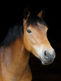 Pony Head Shot Royalty Free Stock Photo