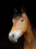 Pony Head Shot Royalty Free Stock Images