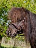 Pony Head Shot Fotografia Stock Libera da Diritti