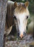 Pony Hiding Behind ein Baum. stockbild