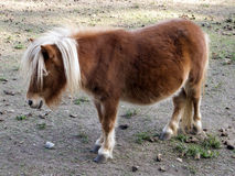 Pony Horse. A brown beautiful pony with white hair in a farm Royalty Free Stock Photo