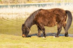 Pony horse eating grass out in the nature at lake Doxa in Greece. Stock Image