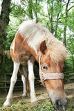 Pony Horse Royalty Free Stock Images