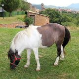 Pony horse grazing meadow in Ainsa Pyrenees Stock Image