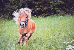 Pony horse on a leash is galloping on the meadow Stock Images