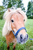 Pony horse on a leash is galloping on the meadow Royalty Free Stock Photo