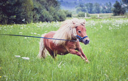 Pony horse on a leash is galloping on the meadow Stock Photos