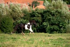 Pony horse running at the mountain farm. In Romania stock photography