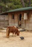 Pony Horse View Photographie stock libre de droits