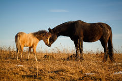 Pony and horse Royalty Free Stock Images