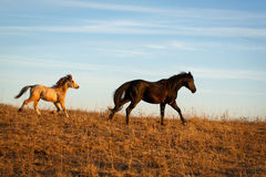 Pony and horse Royalty Free Stock Image