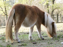 Pony Horse with white hair. A really beautiful pony in a farm Royalty Free Stock Photo