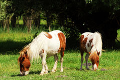 Pony horses Royalty Free Stock Photo