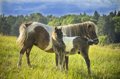Pony horses (Equus ferus caballus). Grown female and litter. Stock Image