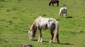 Pony Horses Graze And Relax auf grünen Feldern stockfotos