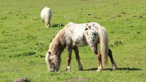 Pony Horses Graze And Relax en campos verdes Foto de archivo