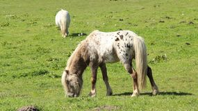 Pony Horses Graze And Relax sui campi verdi Fotografia Stock