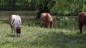 Pony horses on pasture stock footage