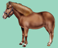 Pony of Iceland. Illustration of a Pony of Iceland - Realistic style Royalty Free Stock Image