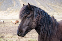 Pony. Icelandic pony in landscape, Iceland Royalty Free Stock Photography