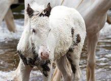 Pony im Fluss Stockfotografie