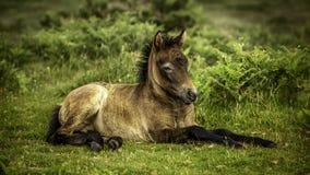 Pony im Ruhezustand Lizenzfreies Stockbild