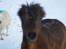 Pony im Schnee in Nordirland stockbilder