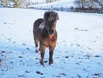 Pony im Schnee in Nordirland lizenzfreie stockfotografie