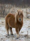 Pony im Winter Stockfotografie
