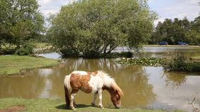 Pony Janes Moor lake New Forest Hampshire England UK Royalty Free Stock Images
