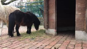 Pony and lama munch hay. In zoo cage stock footage