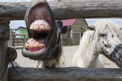 Pony is laughing. The pony laughs and shows his teeth Royalty Free Stock Image