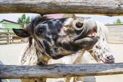 The pony laughs and shows his teeth. royalty free stock image