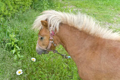Pony on lawn Stock Photography
