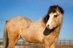 Pony Royalty Free Stock Photo