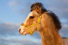 Pony Stock Photos