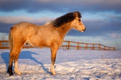 Pony Royalty Free Stock Image