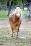 Pony with long hair royalty free stock photos